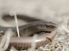 Orvet - Slow-worm (anguis Frag...