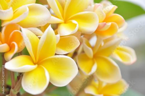 Foto op Canvas Frangipani flower