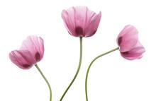 Pink Purple Poppies