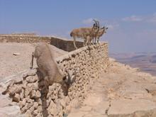 Deers At Ramon Crater, Israel