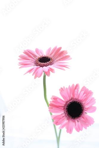 Fototapety, obrazy: Gerbera in Pastel Pink
