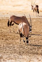 Three Gemsbok In The Kalahari ...