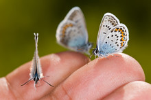 Three Small Butterflies