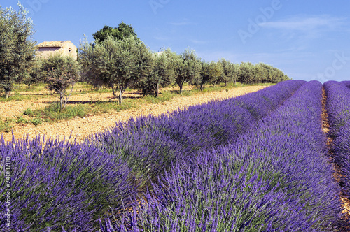 Photo Stands Lavender entre oliviers et lavande
