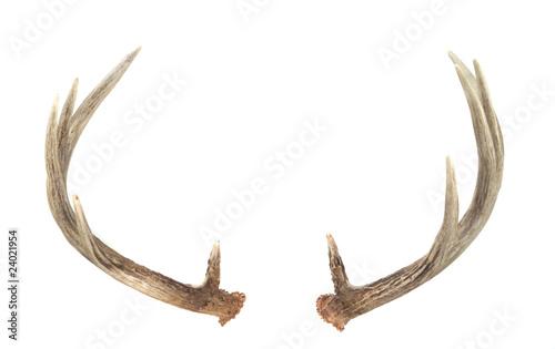 Valokuvatapetti Rear View of Whitetail Deer Antlers