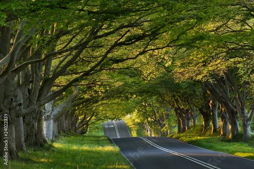 Beech tree avenue at Kingston Lacey, Dorset, UK Fototapet