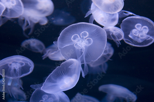 Fotografie, Obraz  Jellyfish Gliding through Water