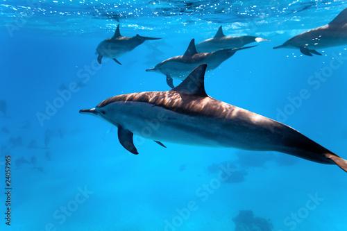 Foto op Plexiglas Dolfijnen Dolphins in the red sea