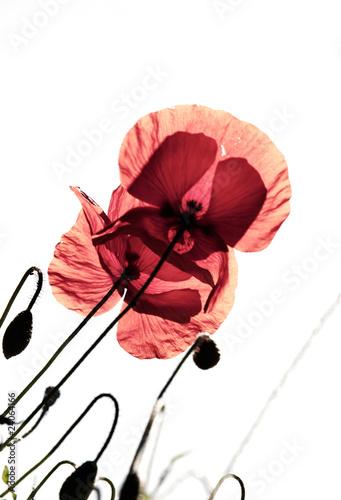 Keuken foto achterwand Abstract bloemen Mohnblumen Papaver rhoeas