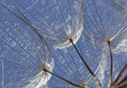 Canvas Prints Dandelions and water Pusteblume, blowball seed