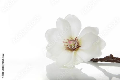 Foto op Plexiglas Magnolia Magnolie