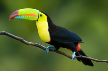 Keel Billed Toucan, From Centr...