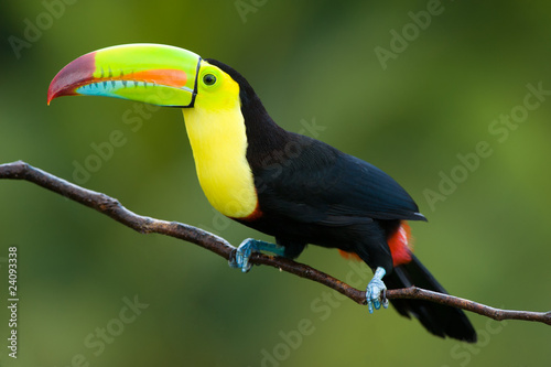 Foto op Aluminium Toekan Keel Billed Toucan, from Central America.