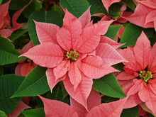 Red And Green Pointsettia