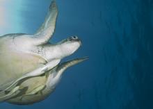 Adult Female Green Turtle , Sw...
