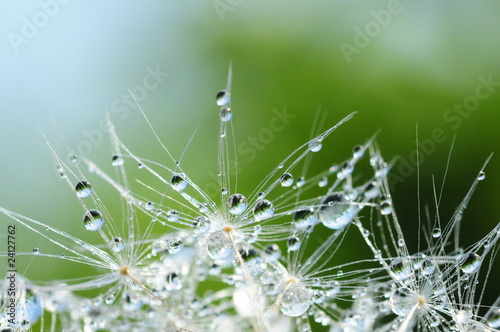 Garden Poster Dandelions and water Dandelion seed with drops