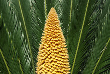 The Cycas In Blossom