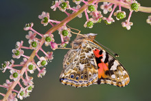 Painted Lady On Pokeweed
