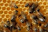Fototapeta Zwierzęta - Pszczoły na plastrze miodu