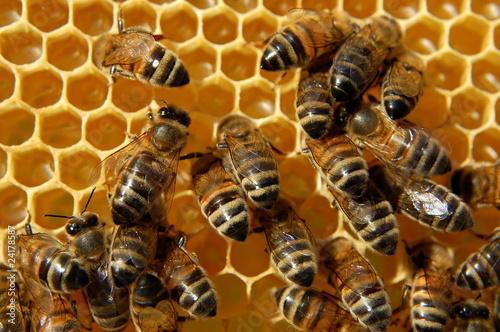 Fototapeta Pszczoły na plastrze miodu obraz