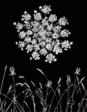 Vector Queen Anne's Lace