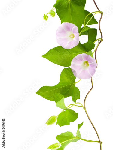 Cuadros en Lienzo Pink convolvulus flowers on white background