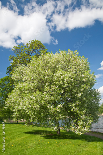 Foto-Lamellen - blooming bird cherry tree