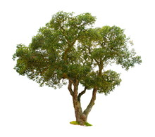 Chêne-liège