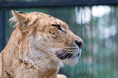 Papel de parede  A liger - a crossbreed of a tiger and a lion