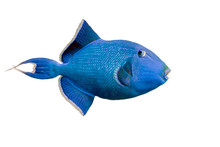 Blue Triggerfish On White