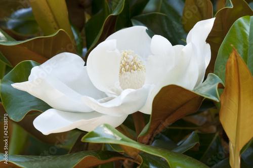 Papiers peints Magnolia Flower of the Magnolia grandiflora