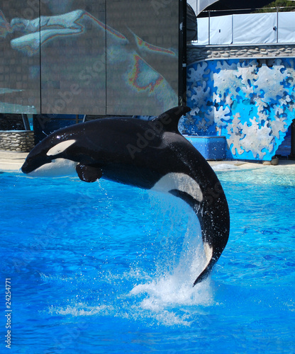 Staande foto Dolfijnen Killer whale jumps