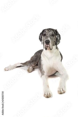 Εκτύπωση καμβά  Great Dane Dog