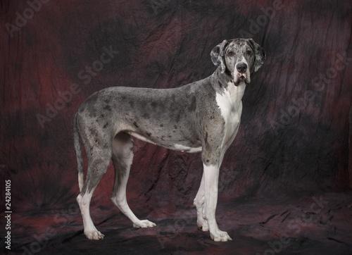 Αφίσα  Great Dane Dog