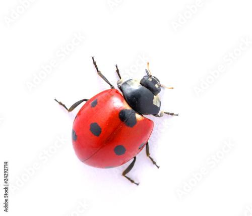 Fotografia Ladybug  on  white