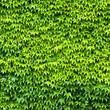 canvas print picture - grüner Hintergrund aus Wildweinblättern