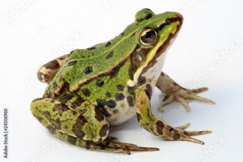Foto auf Leinwand Frosch Frosch auf weißem Hintergrund