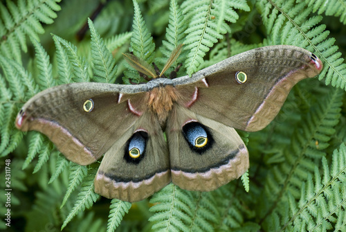Polyphemus moth Canvas Print