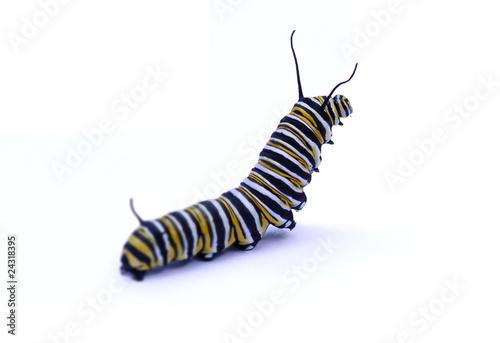 Fotomural  Caterpillar