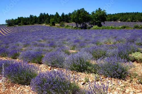 Tuinposter Lavendel Lavender field in Provence, France