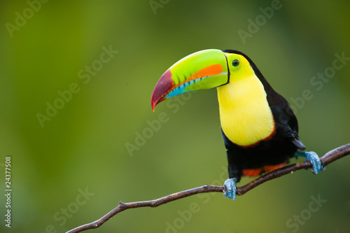 Keuken foto achterwand Toekan Keel Billed Toucan, from Central America.