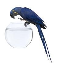 Hyacinth Macaw, 1 Year Old, An...