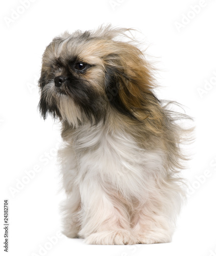 Shih Tzu 1 Year Old With Windblown Hair Buy This Stock Photo And