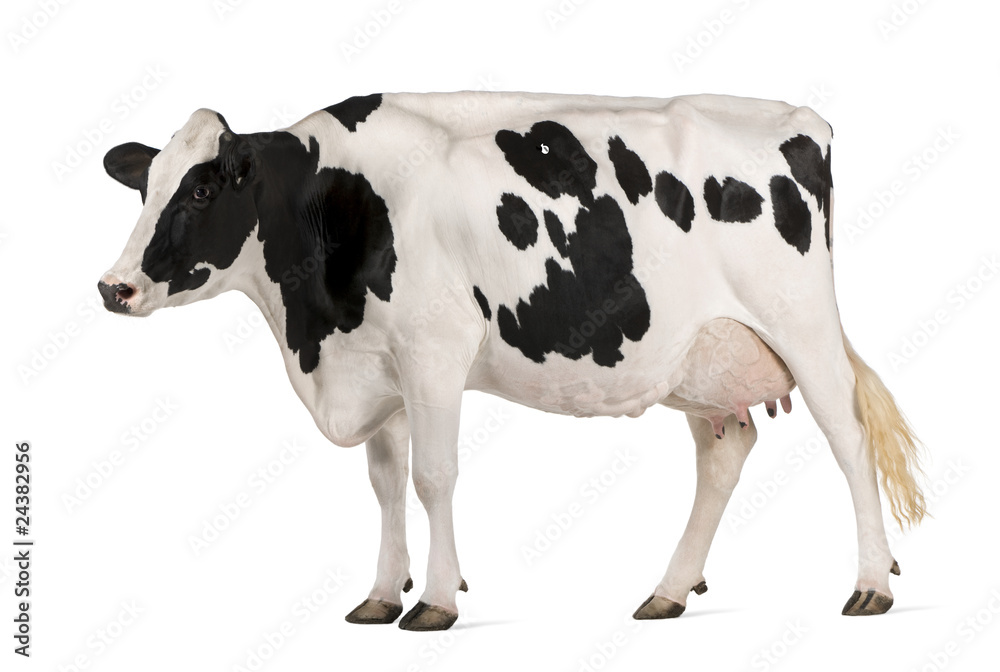 Fototapeta Holstein cow, 5 years old, standing in front of white background