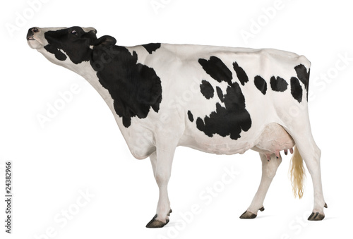 Aluminium Prints Cow Holstein cow, 5 years old, standing in front of white background