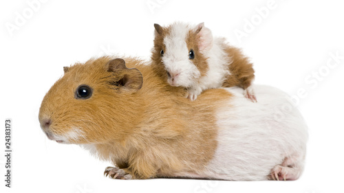 Guinea pig and her baby in front of white background