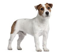 Jack Russell Terrier, 15 Months Old, Standing
