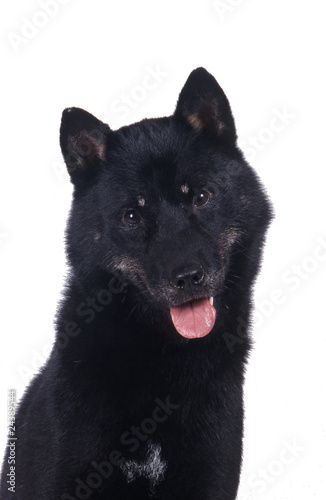 Obraz na plátne Hokkaido ken ou aïnou, race de chien japonais
