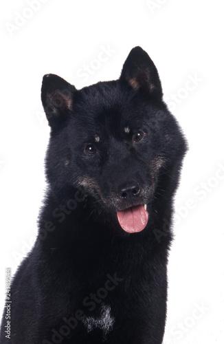 Canvas-taulu Hokkaido ken ou aïnou, race de chien japonais
