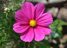Rosa Blüte Einer Cosmee